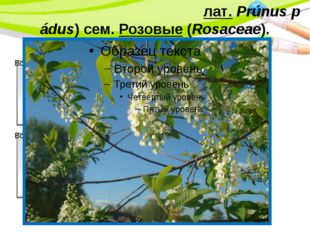 Черёмуха обыкнове́нная(лат.Prúnus pádus) сем.Розовые(Rosaceae). PowerPoint