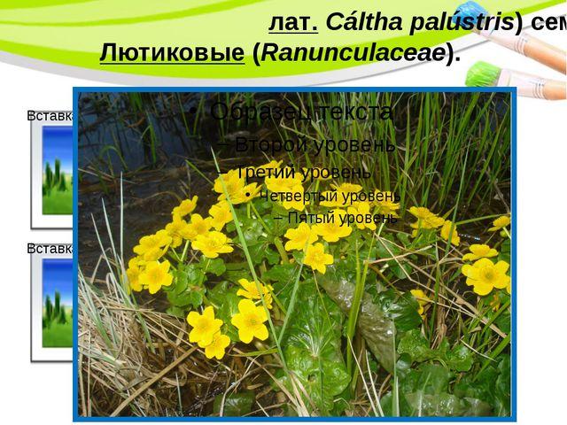 Калу́жница боло́тная(лат.Cáltha palústris) сем.Лютиковые(Ranunculaceae). Po...