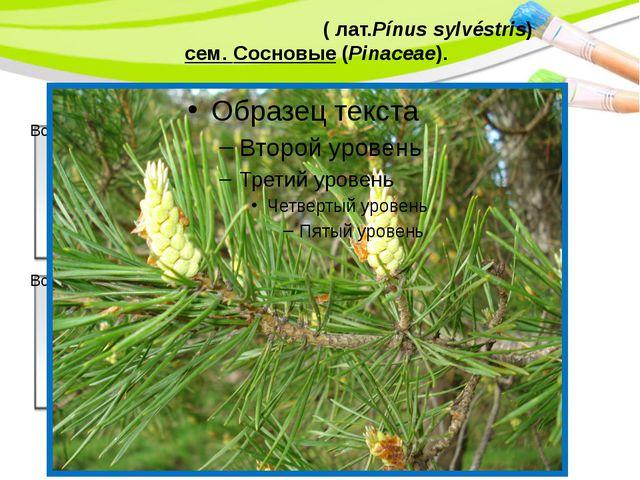 Сосна обыкнове́нная(лат.Pínus sylvéstris) сем. Сосновые(Pinaceae). PowerP...