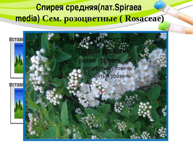 Спирея средняя(лат.Spiraea media) Сем. розоцветные ( Rosaceae) PowerPoint Tem...
