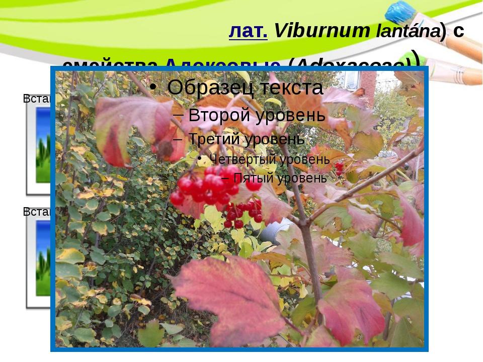 Кали́на гордовина(лат.Viburnum lantána)семействаАдоксовые(Adoxaceae)) Po...