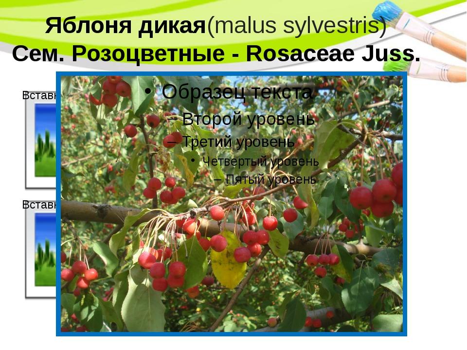 Яблоня дикая(malus sylvestris) Сем. Розоцветные - Rosaceae Juss. PowerPoint T...