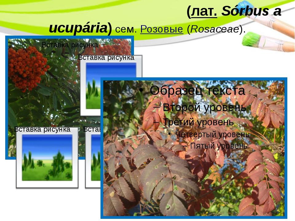 Ряби́на обыкнове́нная(лат.Sórbus aucupária) сем.Розовые(Rosaceae). PowerP...