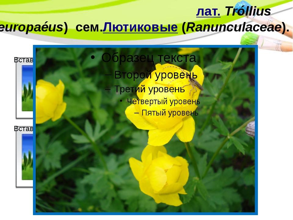 Купа́льница европе́йская(лат.Tróllius europaéus) сем.Лютиковые(Ranunculace...