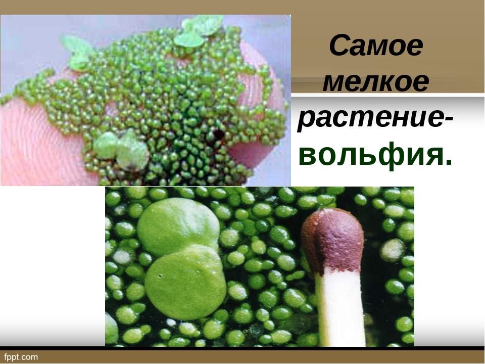 Самое мелкое растение- вольфия.