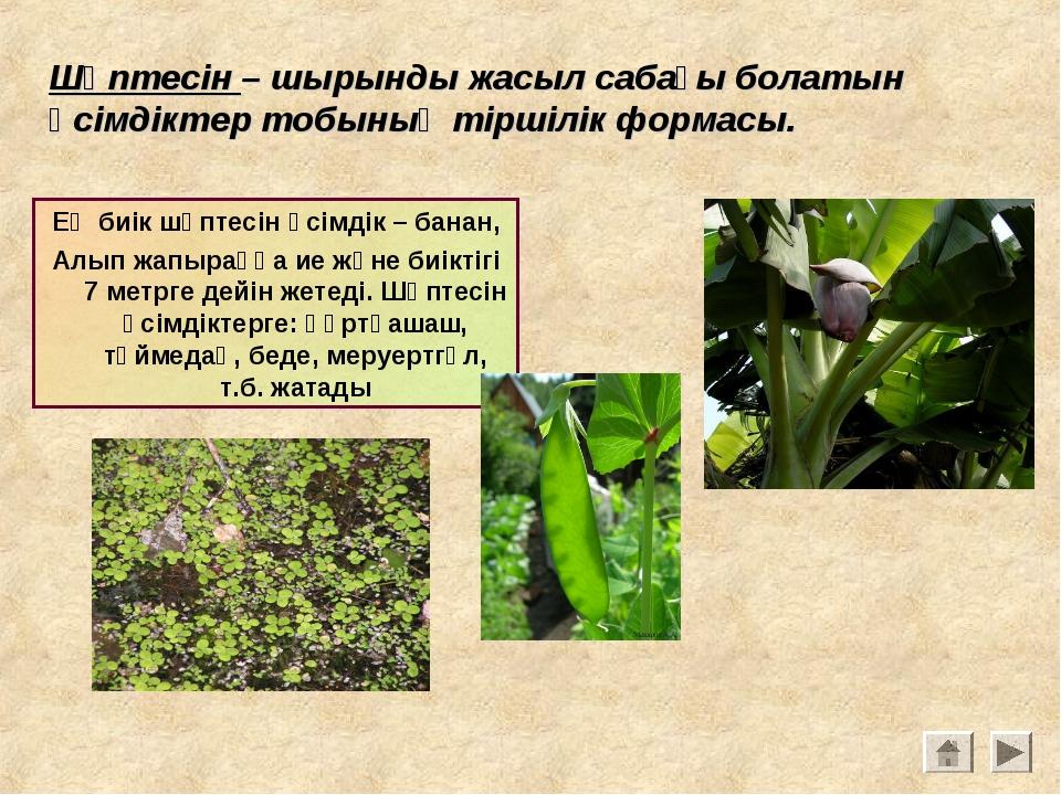 Шөптесін – шырынды жасыл сабағы болатын өсімдіктер тобының тіршілік формасы....