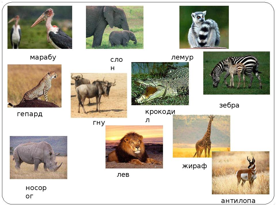 марабу лемур гепард слон гну крокодил носорог лев жираф зебра антилопа