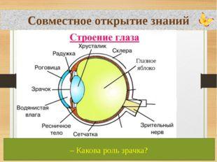 Совместное открытие знаний Глазное яблоко – Перечислите части глаза. – Какая