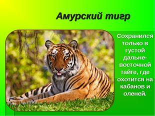 Амурский тигр Сохранился только в густой дальне-восточной тайге, где охотится