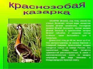 КАЗАРКИ (Brantd), род птиц семейства утиных. Включает четыре вида: канадская