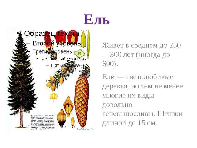 Ель Живёт в среднем до 250—300 лет (иногда до 600). Ели — светолюбивые деревь...