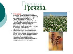 Гречиха — ценная крупяная культура, низкоурожайная (обычно 6—7ц/га). У нее пр