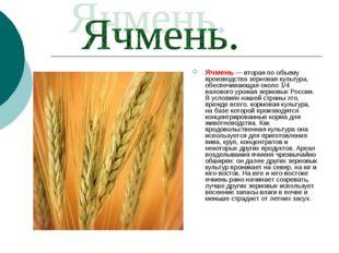 Ячмень — вторая по объему производства зерновая культура, обеспечивающая окол
