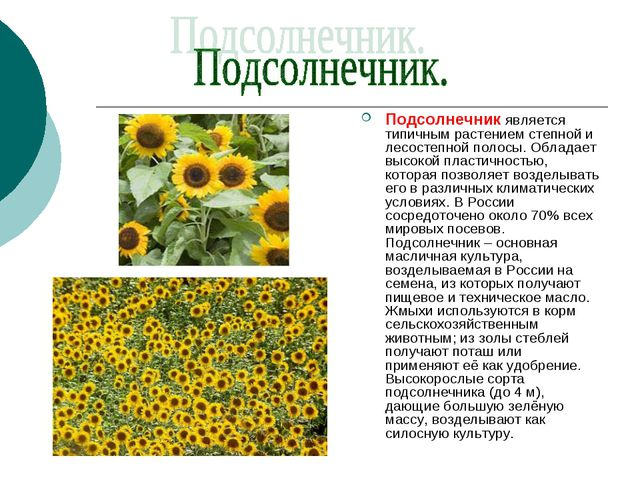 Подсолнечник является типичным растением степной и лесостепной полосы. Облада...