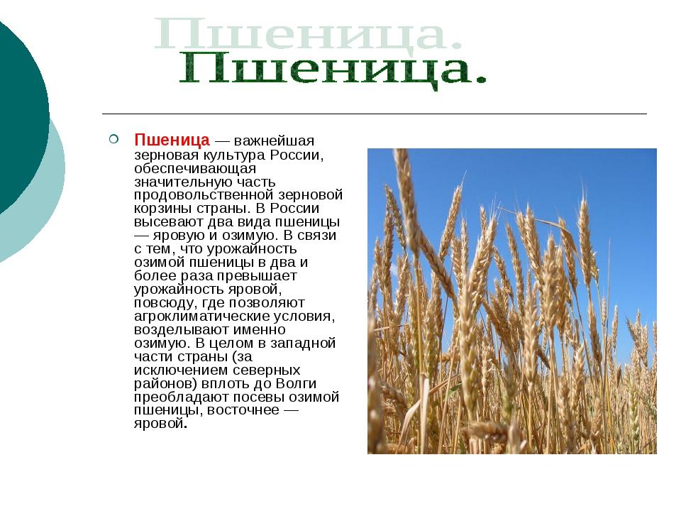 Пшеница — важнейшая зерновая культура России, обеспечивающая значительную час...
