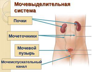 Мочевыделительная система человека фото без подсказок