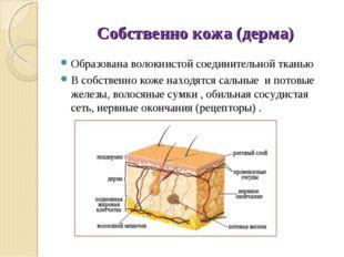 Собственно кожа (дерма) Образована волокнистой соединительной тканью В собств