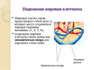 Подкожная жировая клетчатка Жировые клетки также представляют собой депо, в к