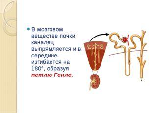 В мозговом веществе почки каналец выпрямляется и в середине изгибается на 180