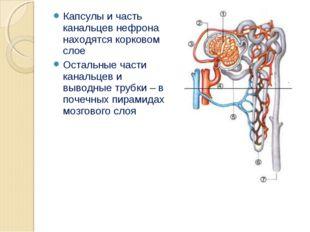 Капсулы и часть канальцев нефрона находятся корковом слое Остальные части кан
