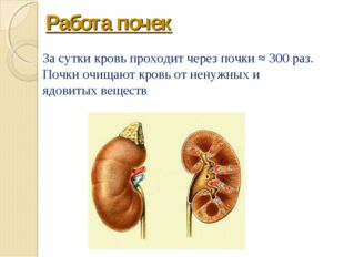 Работа почек За сутки кровь проходит через почки ≈ 300 раз. Почки очищают кро