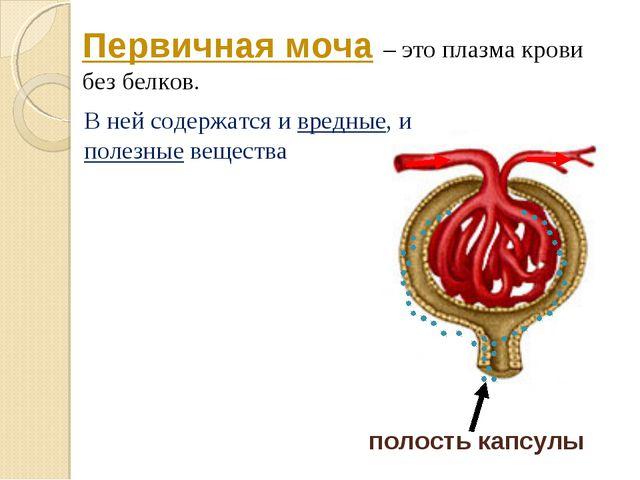 полость капсулы Первичная моча – это плазма крови без белков. В ней содержатс...