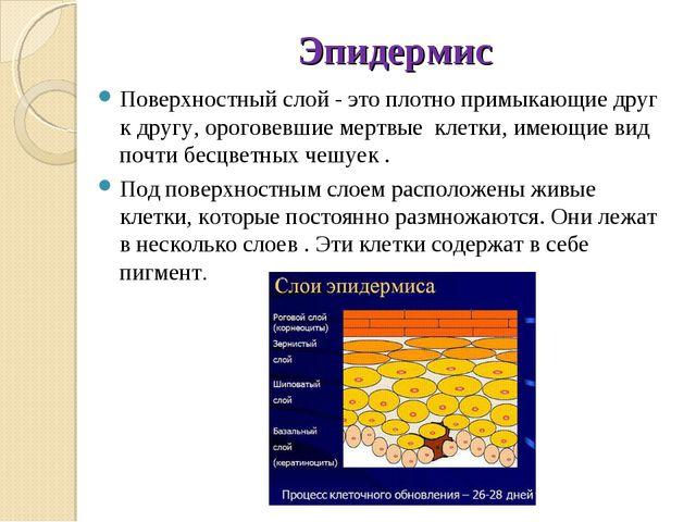Эпидермис Поверхностный слой - это плотно примыкающие друг к другу, ороговевш...