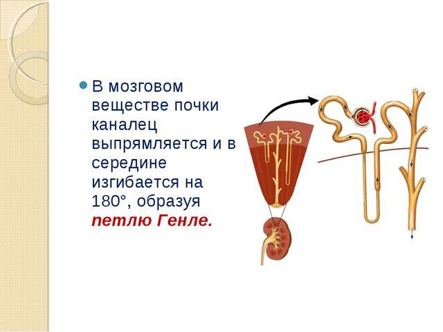 В мозговом веществе почки каналец выпрямляется и в середине изгибается на 180...