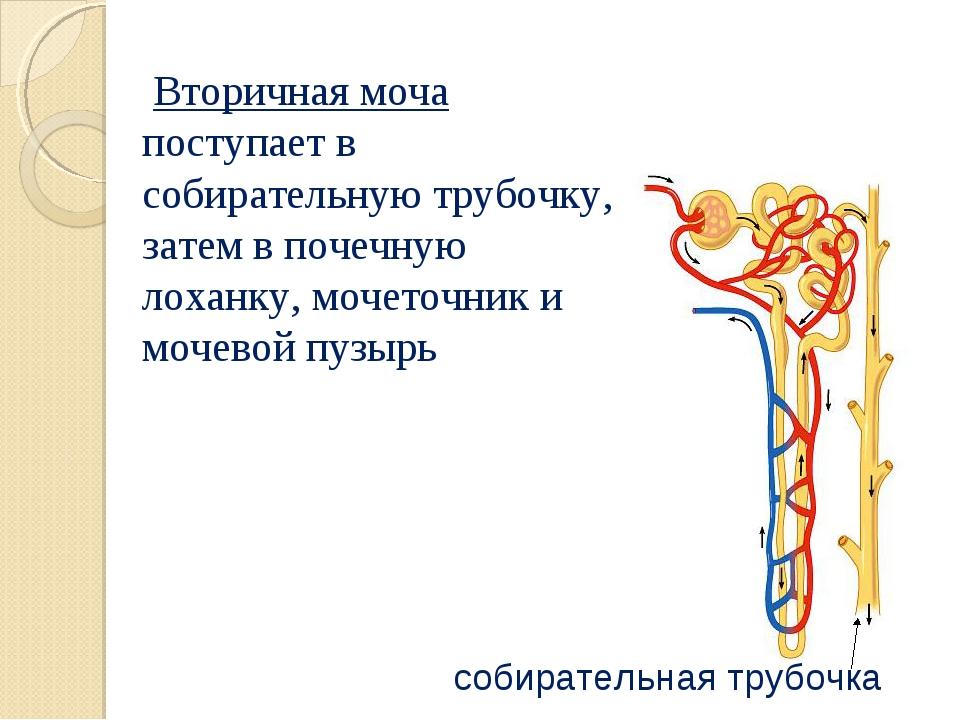 Вторичная моча поступает в собирательную трубочку, затем в почечную лоханку,...
