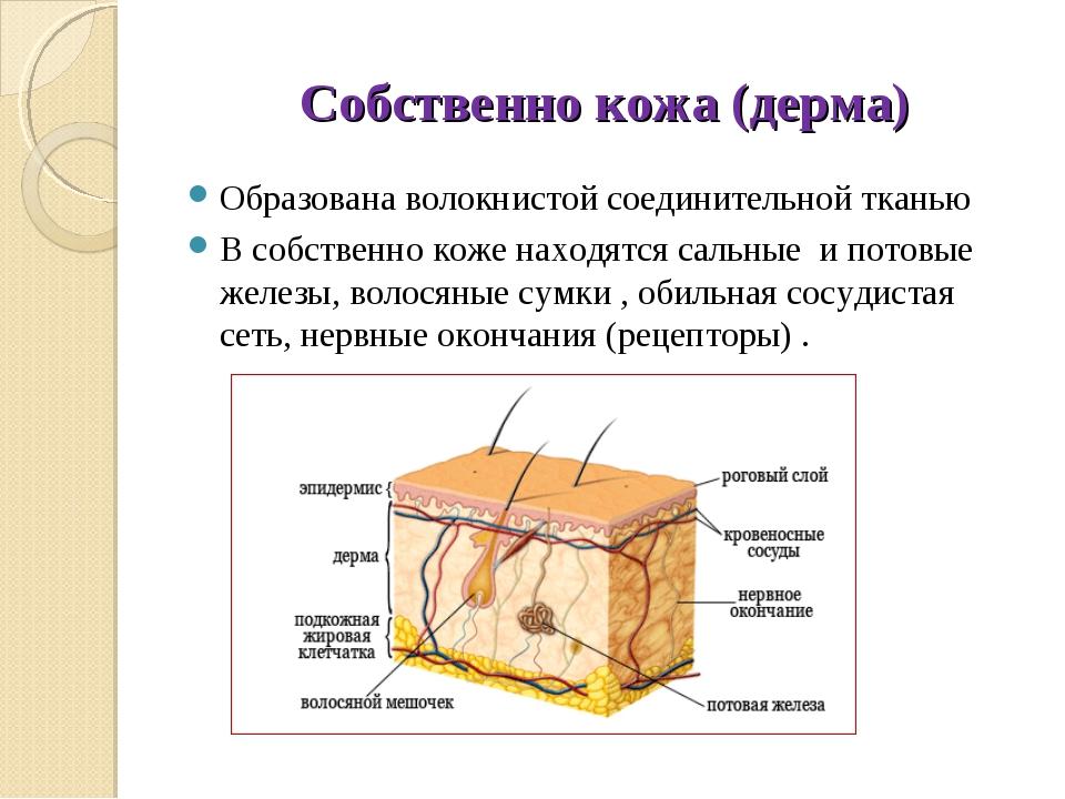 Собственно кожа (дерма) Образована волокнистой соединительной тканью В собств...