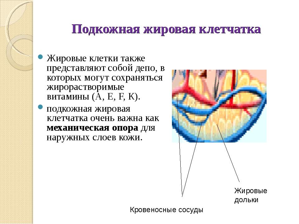 Подкожно жировая клетчатка представлена