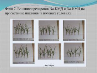 Фото 7. Влияние препаратов Na-КМД и Na-КМЦ на прорастание пшеницы в полевых у