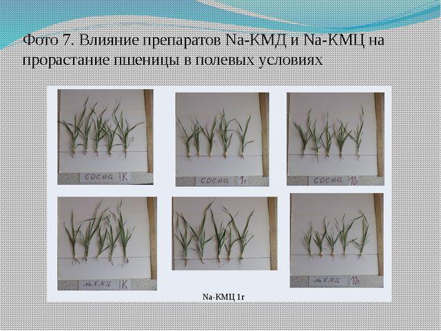 Фото 7. Влияние препаратов Na-КМД и Na-КМЦ на прорастание пшеницы в полевых у...
