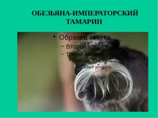ОБЕЗЬЯНА-ИМПЕРАТОРСКИЙ ТАМАРИН