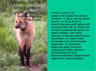 ГРИВАСТЫЙ ВОЛК Длина тела гривастого волка с головой - от 95 до 130 см, длина
