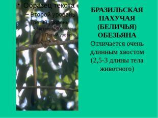 БРАЗИЛЬСКАЯ ПАХУЧАЯ (БЕЛИЧЬЯ) ОБЕЗЬЯНА Отличается очень длинным хвостом (2,5-