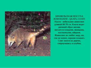 БРАЗИЛЬСКАЯ НОСУХА ИЛИ КОАТИ - QUATI, COATI Коати - небольшое животное длиной