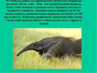 МУРАВЬЕД Длина тела бразильского гигантского муравьеда достигает 210 см., а в