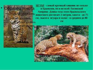 ЯГУАР - самый крупный хищник не только в Бразилии, но и во всей Латинской Аме