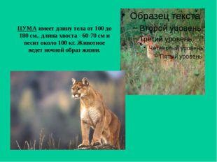 ПУМА имеет длину тела от 100 до 180 см., длина хвоста - 60-70 см и весит окол
