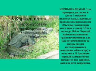 ЧЁРНЫЙ КАЙМАН Этот крокодил достигает в длину 5 метров и является самым крупн