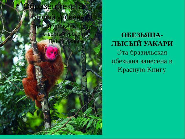 ОБЕЗЬЯНА-ЛЫСЫЙ УАКАРИ Эта бразильская обезьяна занесена в Красную Книгу