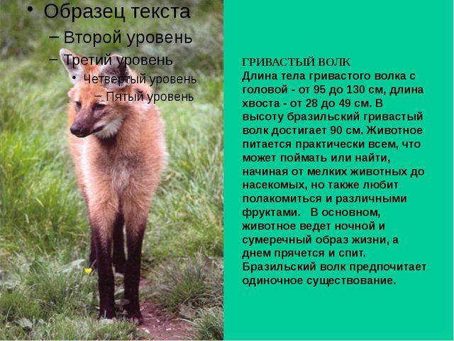 ГРИВАСТЫЙ ВОЛК Длина тела гривастого волка с головой - от 95 до 130 см, длина...