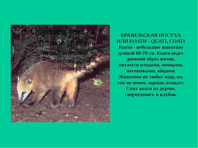 БРАЗИЛЬСКАЯ НОСУХА ИЛИ КОАТИ - QUATI, COATI Коати - небольшое животное длиной...