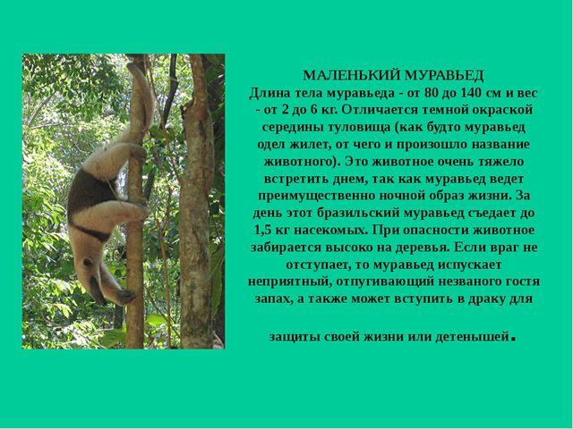 МАЛЕНЬКИЙ МУРАВЬЕД Длина тела муравьеда - от 80 до 140 см и вес - от 2 до 6 к...