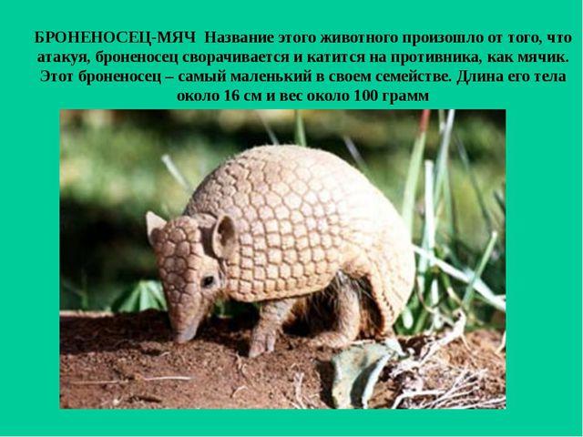 БРОНЕНОСЕЦ-МЯЧ Название этого животного произошло от того, что атакуя, бронен...