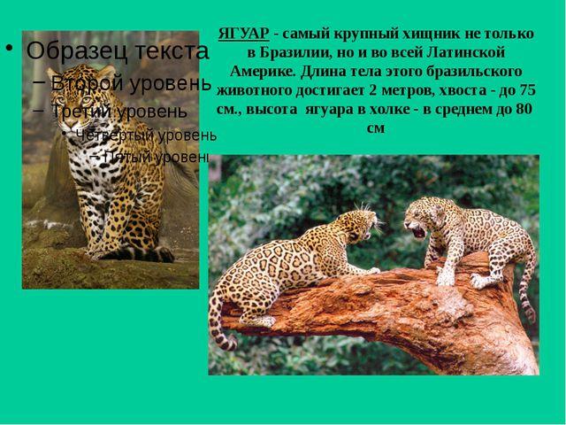 ЯГУАР - самый крупный хищник не только в Бразилии, но и во всей Латинской Аме...