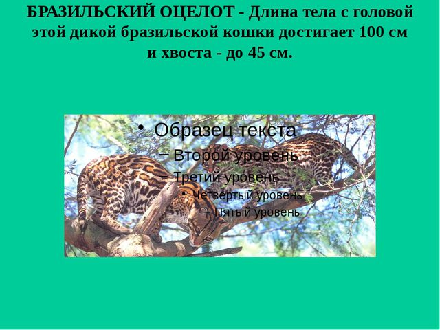 БРАЗИЛЬСКИЙ ОЦЕЛОТ - Длина тела с головой этой дикой бразильской кошки достиг...
