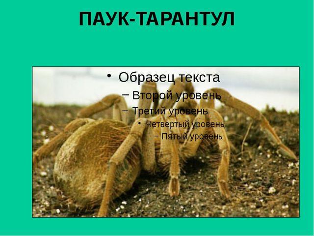 ПАУК-ТАРАНТУЛ
