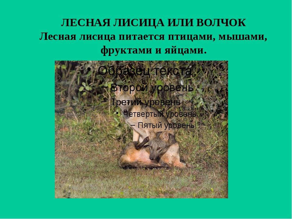 ЛЕСНАЯ ЛИСИЦА ИЛИ ВОЛЧОК Лесная лисица питается птицами, мышами, фруктами и я...